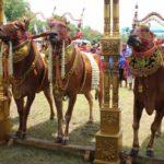 Kontes Sapi Sonok di Pamekasan