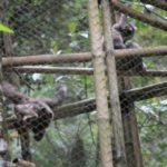 Lima Owa Jawa Dilepas di Gunung Puntang